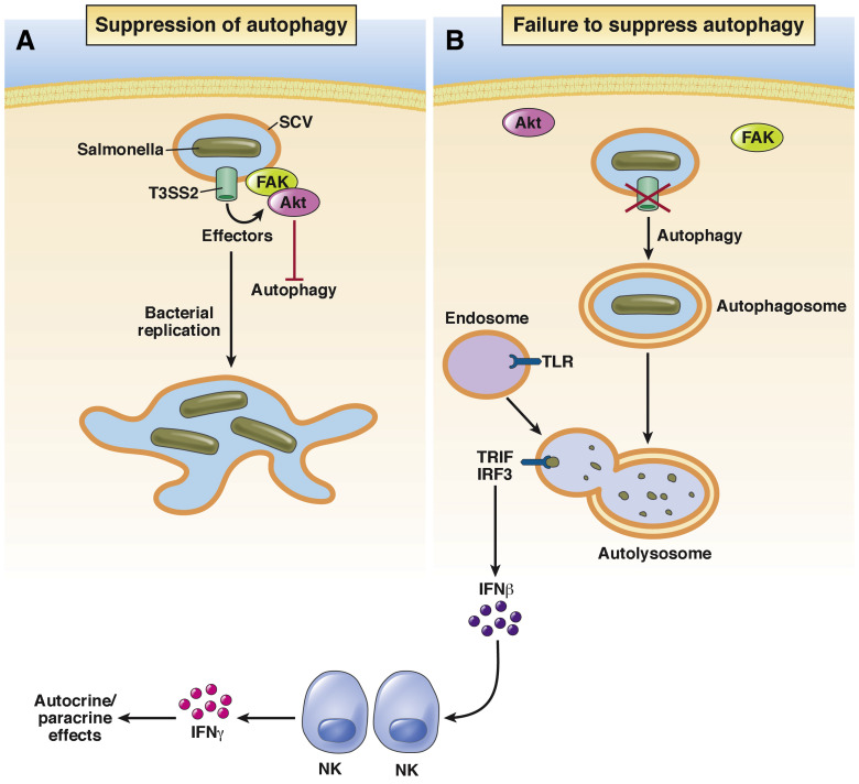 Bacterial Autophagy: Offense and Defense at the Host–Pathogen