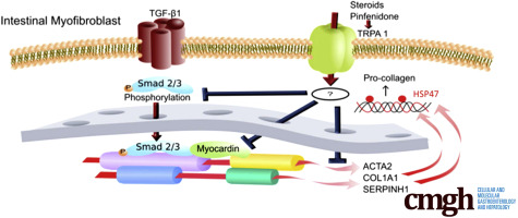 Activation Of Myofibroblast Trpa1 By Steroids And