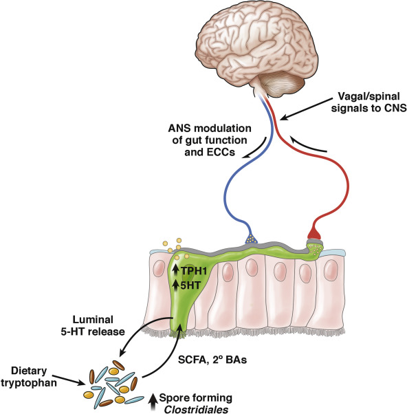 When Gut Bacteria Change Brain Function >> The Brain Gut Microbiome Axis Cellular And Molecular