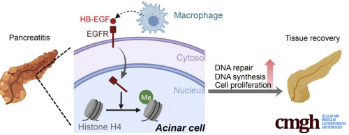 Myeloid Cell-Derived HB-EGF Drives Tissue Recovery After
